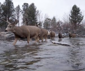 Red Desert Mule Deer Migration