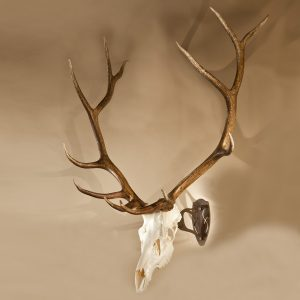 Elk Skull on big hooker