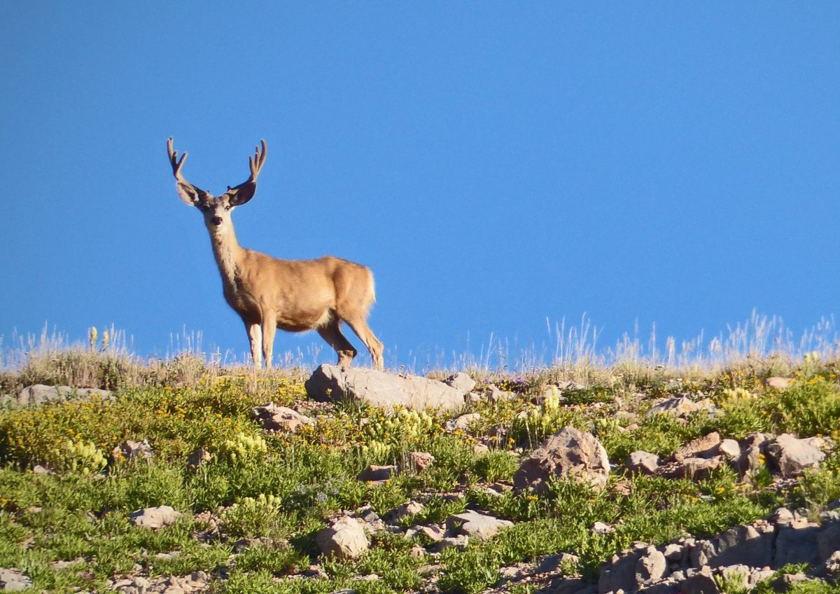 Mule Deer buck on Skyline