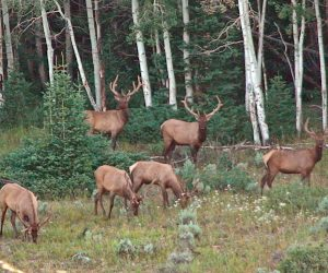 Application Reminder: Wyoming Elk
