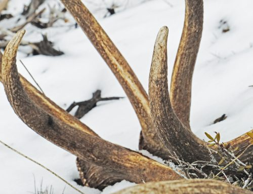 Nevada Sets Restrictions on Shed Hunting