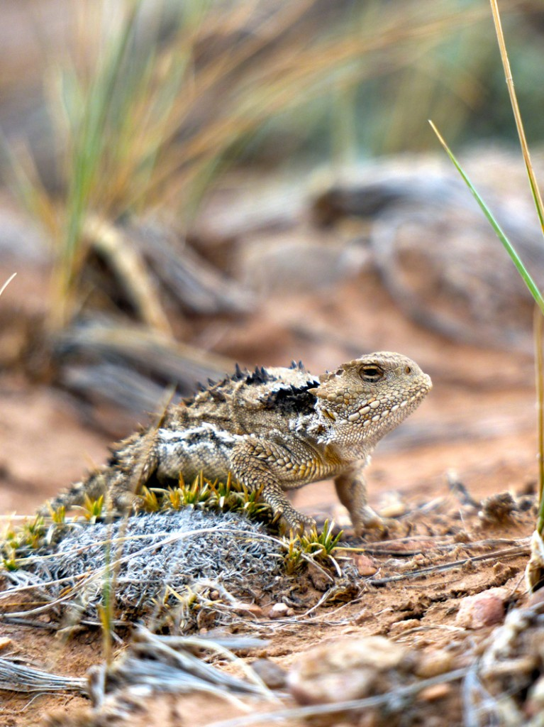 Wyoming Horned Toad